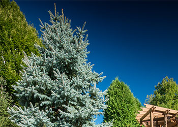 Specimen - Blue Spruce